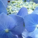 hydrangea by picketty