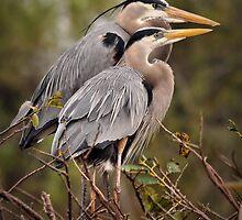 Nesting Pair - Great Blue Herons by Dennis Stewart