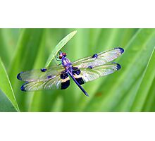 Dragonfly with Bumble Bee markings - Laguna Whitsundays Photographic Print