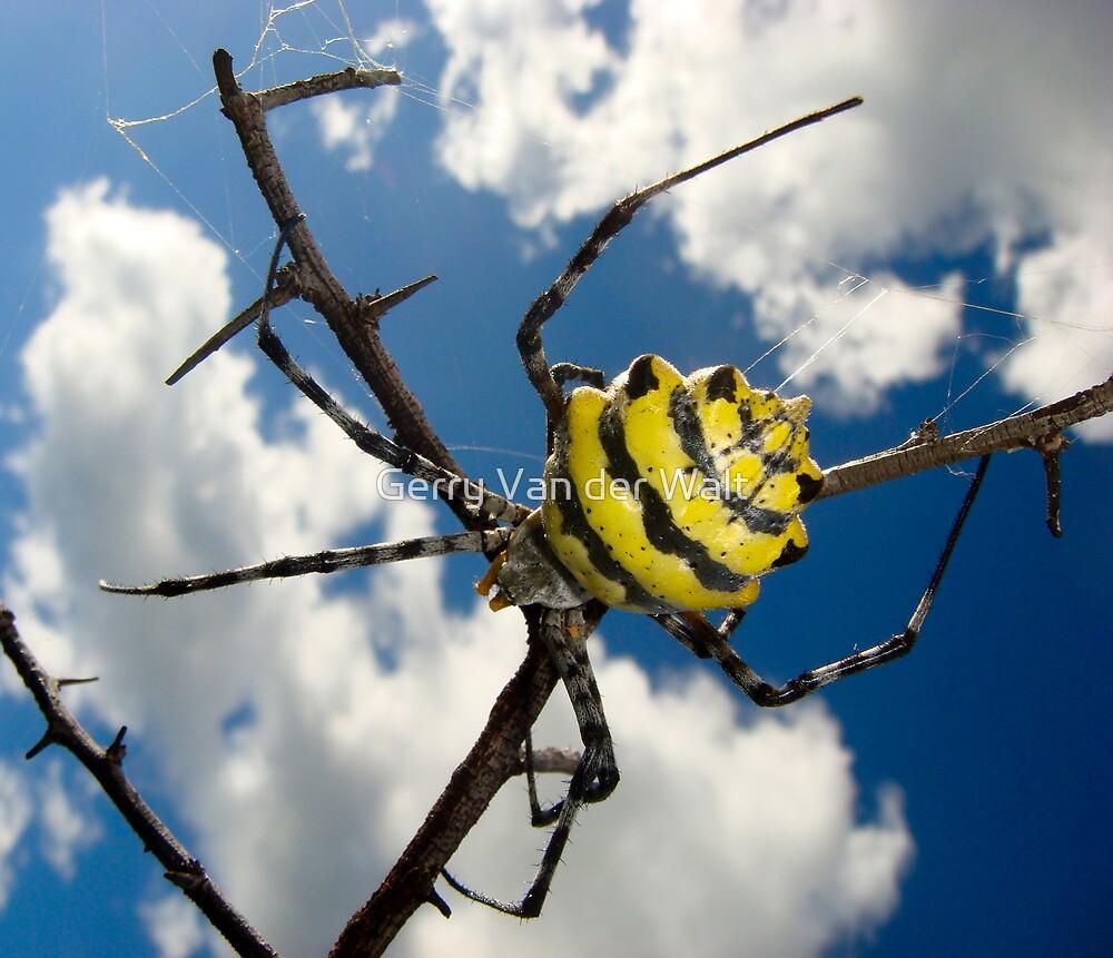 Black & Yellow Garden Spider by Gerry Van der Walt