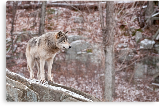 Timber Wolf on Outcropping by Michael Cummings