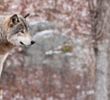 Timber Wolf on Outcropping Sticker
