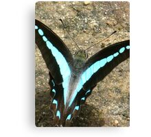 Blue Triangle Butterfly - A Closer View Canvas Print