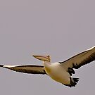 Powerful Pelican, Stormy day, Tooradin, Victoria, Australia. by johnrf