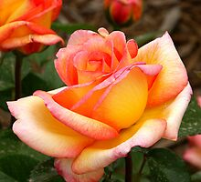 Sheila's Perfume Floribunda Rose by David DeWitt