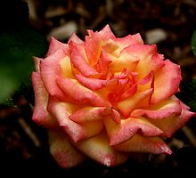 Sheila's Perfume full-blown Floribunda Rose by David DeWitt