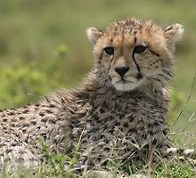 cheetah cub by stewartshang