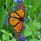 Monarch Butterfly by ClintDMc