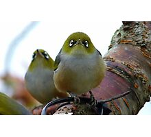 Look to the heavens my friend! - Silvereye - NZ - Southland Photographic Print