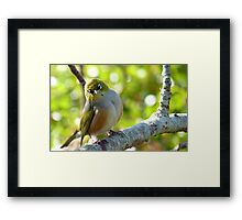 I'll Pose for your Today! - Silvereye - NZ Southland Framed Print