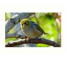 Excuse me, What was that? - Silvereye - NZ - Southland Art Print