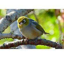Excuse me, What was that? - Silvereye - NZ - Southland Photographic Print