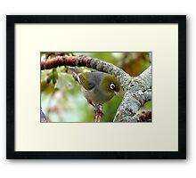 That Special Look! - Silvereye - NZ Framed Print