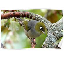 That Special Look! - Silvereye - NZ Poster