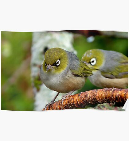 Are you following me? - Silvereye - NZ - Southland Poster