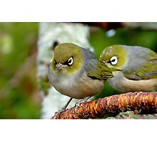 Are you following me? - Silvereye - NZ - Southland Photographic Print
