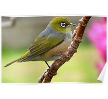 Walking the tide rope - Silvereye - NZ Poster