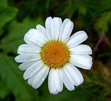 Orra's Daisy  by Ben Kemp