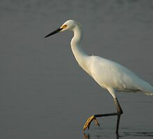 Snowy Egret by ClintDMc
