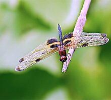 Dragonfly with Bumble Bee markings - 2 - Laguna Whitsundays by JenniferW
