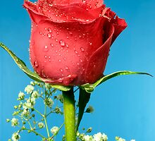 Single red rose by mrjboyle
