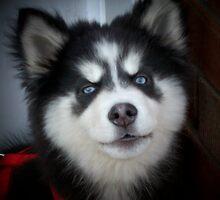 Husky pup 2 by pat oubridge