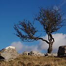 Bare Tree, Malham by Robert Nicholson