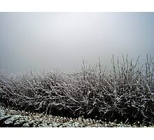 Hoar Frosted Hedge in Fog Photographic Print