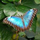 Blue Morpho by Anne Smyth