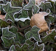 Frosted leaves by Alistair Balharrie