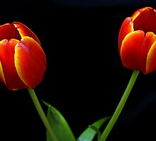 Two Orange Tulips by Swede