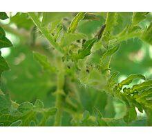 budding tomato flowers Photographic Print