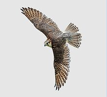 Lanner Falcon,  Falco biarmicus by Dave  Knowles