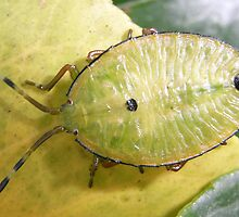 Citrus Bug by chookman