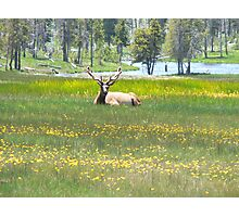 bull elk resting Photographic Print