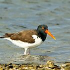 Oyster Catcher by SuddenJim