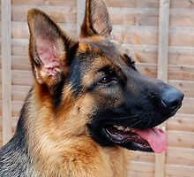 GERMAN SHEPHERD by PHIL GOUGH