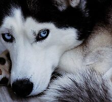 Siberian Sky Blue Eyes by DIANE KLEVECKA