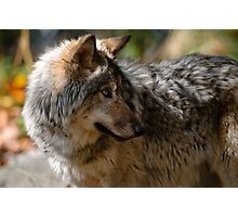 Wolf Head profile Photographic Print