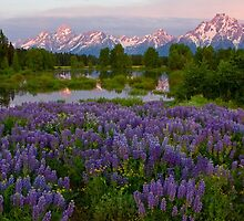 Field of Lupine and the Tetons by A.M. Ruttle