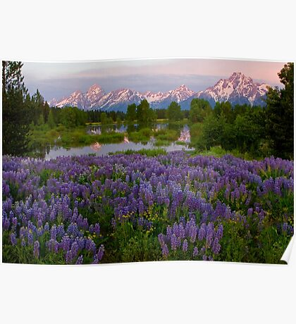 Field of Lupine and the Tetons Poster