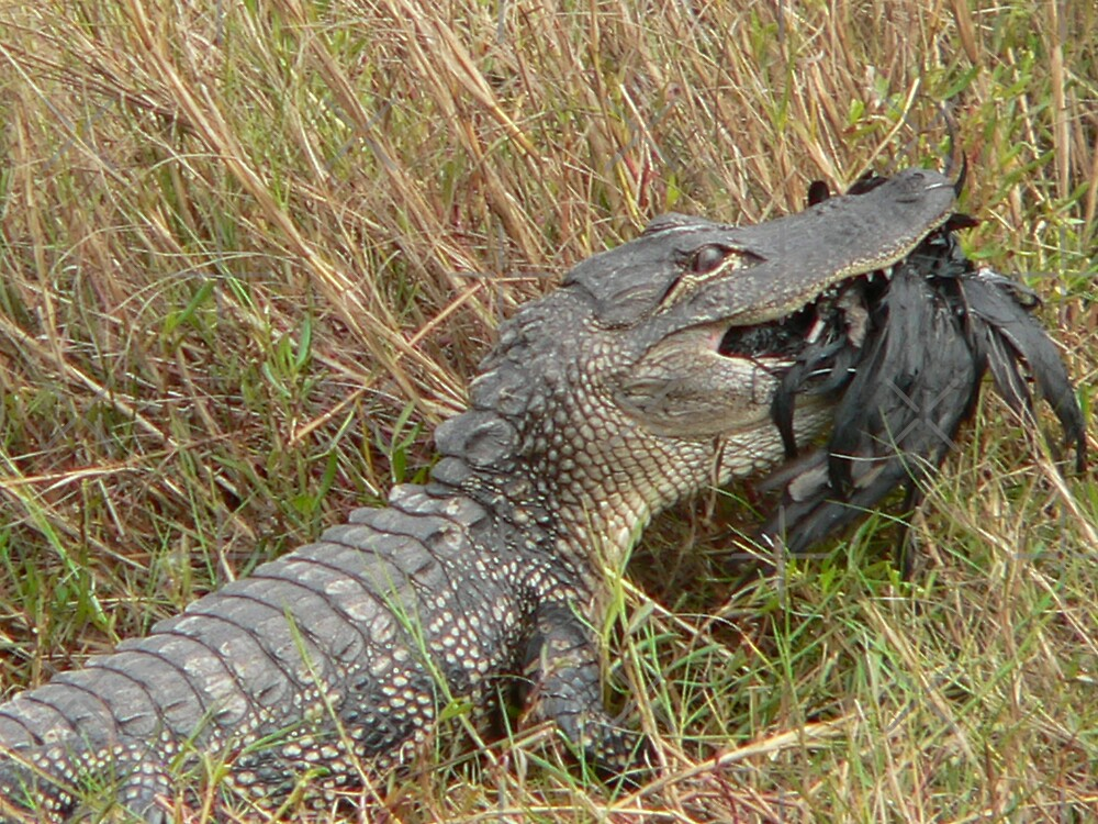 Gator At Dinnertime by kevint
