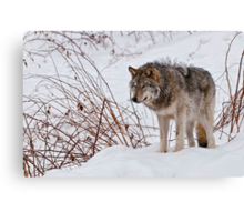 Lone Wolf - 2 Canvas Print