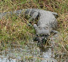 Hungry Gator Leaving With Prey by kevint