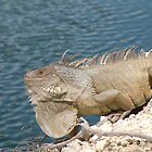 Shark Key Iguana by Cayobo