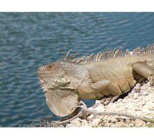 Shark Key Iguana Photographic Print