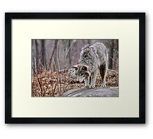 Timber Wolf on Rocks Framed Print