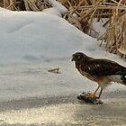 A Hawk's Winter Feeding by loriclint