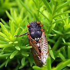 Magic Cicada by rdshaw