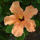 Mottled Hibiscus by Cayobo